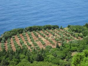 oliviers a Kefalonia 165